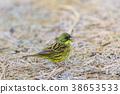 灰頭鹀 鳥兒 鳥 38653533