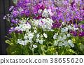 프리뮬러, 꽃, 플라워 38655620