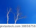 푸른 하늘 아래 자작 나무 38656756