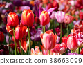 Blooming tulips flowerbed in Keukenhof flower 38663099