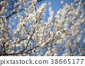 매실, 매화, 꽃 38665177