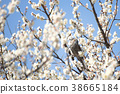 ume, plum blossoms, white plum blossoms 38665184