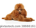 Toy Poodle lying on white background 38666161
