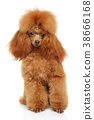 Toy Poodle portrait on white 38666168