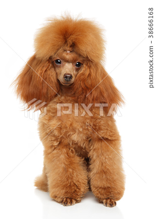 Toy Poodle portrait on white - Stock Photo [38666168] - PIXTA