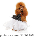 Toy Poodle in a beautiful white dress 38666169