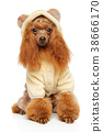 Toy Poodle in warm fashionable clothes 38666170