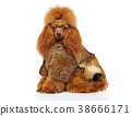 Toy Poodle in a fur clothes 38666171