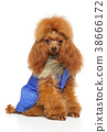 Toy Poodle in clothes for dogs 38666172