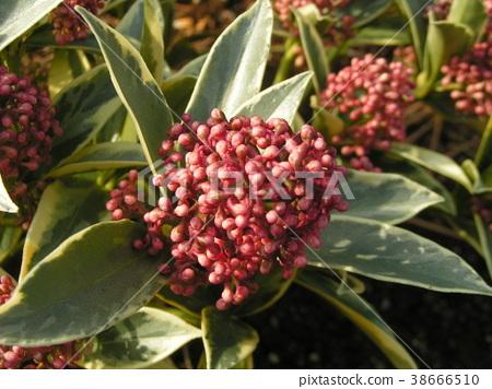 꽃봉오리, 꽃망울, 분홍색 38666510