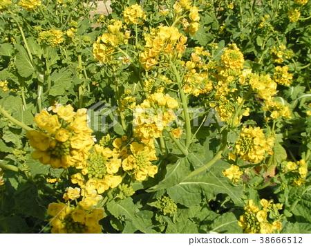 rape blossoms, broccolini, rape 38666512