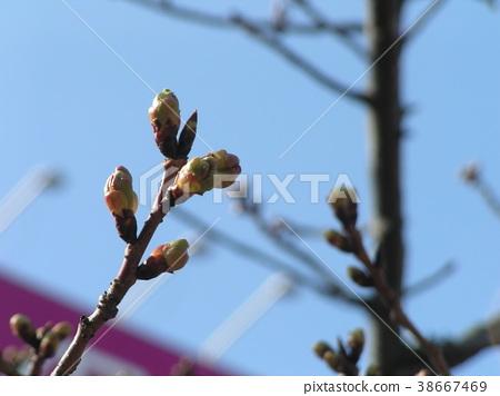 kawazu cherry blossoms, bud, pink 38667469