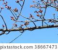 kawazu cherry blossoms, bud, pink 38667473