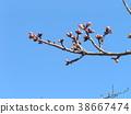 kawazu cherry blossoms, bud, pink 38667474