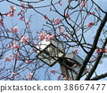 kawazu cherry blossoms, bloom, blossom 38667477