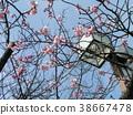 kawazu cherry blossoms, bloom, blossom 38667478