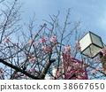 kawazu cherry blossoms, bloom, blossom 38667650