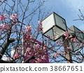 kawazu cherry blossoms, bloom, blossom 38667651