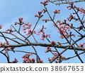 kawazu cherry blossoms, bloom, blossom 38667653