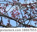kawazu cherry blossoms, bloom, blossom 38667655