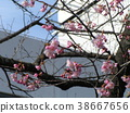 kawazu cherry blossoms, bloom, blossom 38667656