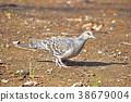 산비둘기 (雉鳩) 38679004