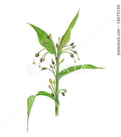 adlay, botanic, botanical 38679199
