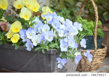 Early Spring Yellow Yellow Flower Stock Photo 38679837 Pixta