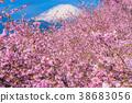 Kawazu櫻花盛開和富士山 38683056