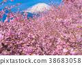 Kawazu櫻花盛開和富士山 38683058