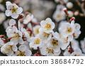 흰 매화 매화 가이 라쿠엔의 매화 38684792