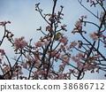 kawazu cherry blossoms, flower, kawaji sakura 38686712