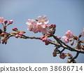 kawazu cherry blossoms, flower, flowers 38686714