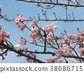 kawazu cherry blossoms, flower, flowers 38686715