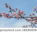 kawazu cherry blossoms, flower, flowers 38686898
