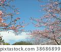 kawazu cherry blossoms, flower, flowers 38686899