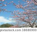 kawazu cherry blossoms, flower, flowers 38686900