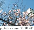 kawazu cherry blossoms, flower, flowers 38686901