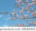 kawazu cherry blossoms, flower, flowers 38686902