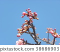 kawazu cherry blossoms, flower, flowers 38686903