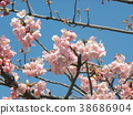 kawazu cherry blossoms, flower, flowers 38686904