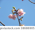 kawazu cherry blossoms, flower, flowers 38686905