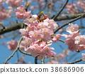 kawazu cherry blossoms, flower, flowers 38686906