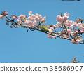 kawazu cherry blossoms, flower, flowers 38686907