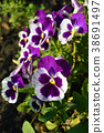white and purple Viola tricolor pansy flowers on 38691497