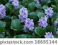 water hyacinth, bloom, blossom 38695344