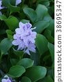 water hyacinth, bloom, blossom 38695347