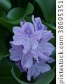 water hyacinth, bloom, blossom 38695351