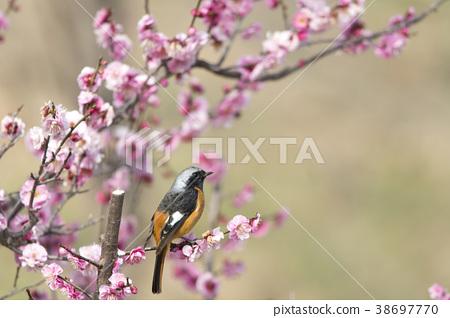 small bird, redstart, flower 38697770
