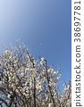 ลูกท้อ,บ๊วย,ฤดูใบไม้ผลิ 38697781